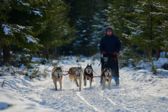 CIUMANI, ROMANIA – JANUARY 2016: Unindentified musher riding alaskan malamutes at Dog Sled competition in Ciumani, Romania Royalty Free Stock Image