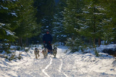 CIUMANI, ROMANIA – JANUARY 2016: Unindentified musher riding alaskan malamutes at Dog Sled competition in Ciumani, Romania Royalty Free Stock Images