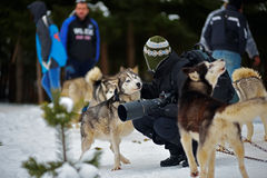 CIUMANI, ROMANIA – JANUARY 2016: Unindentified photographer petting an alaskan malamute at Dog Sled competition Royalty Free Stock Images