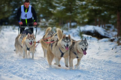 CIUMANI, ROMANIA – JANUARY 2016: Unindentified musher riding alaskan malamutes at Dog Sled competition in Ciumani, Romania Stock Image