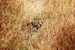 civet кота редкий Стоковые Изображения
