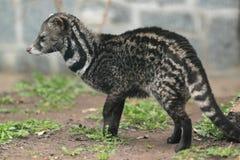 Civet africano immagini stock