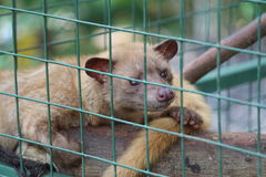 Civet in a Cage Royalty Free Stock Images