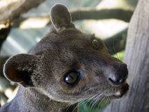 Civet cat Stock Photos