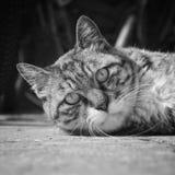 Civet cat head. Lying in a Civet cat gazing, it is very domineering eyes royalty free stock photo