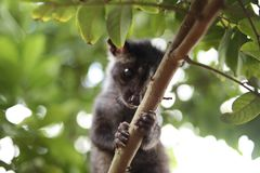 Civet Cat on Tree. Close up image of civet cat on tree branch, animal in nature day light mammal wild outdoor wildlife forest fauna park asian fur outdoors stock photography