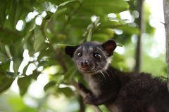 Civet Cat on Tree. Close up image of civet cat on tree branch, animal in nature day light mammal wild outdoor wildlife forest fauna park asian fur outdoors stock images