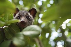 Civet Cat on Tree. Close up image of civet cat on tree branch, animal in nature day light mammal wild outdoor wildlife forest fauna park asian fur outdoors royalty free stock images