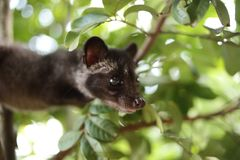 Civet Cat on Tree. Close up image of civet cat on tree branch, animal in nature day light mammal wild outdoor wildlife forest fauna park asian fur outdoors stock photo