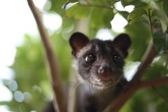 Civet Cat on Tree. Close up image of civet cat on tree branch, animal in nature day light mammal wild outdoor wildlife forest fauna park asian fur outdoors stock photos