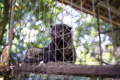 Civet Royalty Free Stock Photos