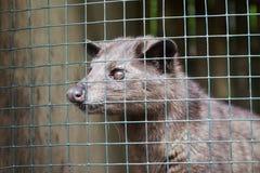 Civet de palma asiático foto de stock royalty free