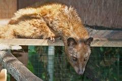 Civet di palma asiatico immagine stock