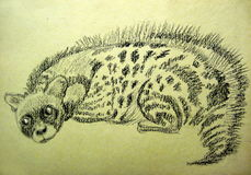 The civet Royalty Free Stock Image