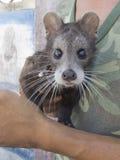 Civet Luwak Stock Fotografie
