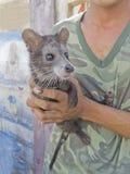 Civet Luwak Stock Photo