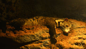 Civet Royalty Free Stock Images