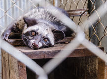 Civet. Is very comfortable in the cage Royalty Free Stock Image