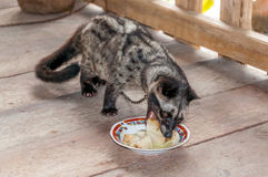 Civet - Viverrinae Stock Photo