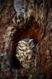 Civetta, noctua delle atene, nella foresta del foro del nido dell'albero in Europa centrale, ritratto di piccolo uccello nell'hab Fotografie Stock