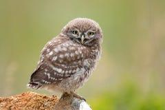 Civetta, noctua delle atene, sedentesi su una pietra Giovane uccello fotografia stock libera da diritti