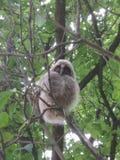 Civetta sull'albero fotografia stock