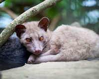 Civette de paume asiatique - luwak Images stock