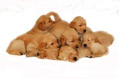 Civière de chien d'arrêt d'or Photographie stock