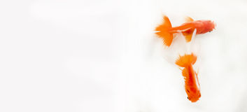 Clé élevée de deux poissons d'or Photos libres de droits