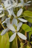 Clématite à feuilles persistantes de congère photographie stock libre de droits