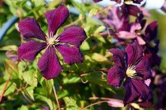 Clématite dans le jardin Image stock