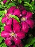 Clématite de fleur Image libre de droits