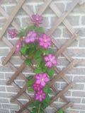 clématite de floraison Photographie stock