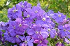 Clématite de floraison, une sorte Mephistopheles Photographie stock libre de droits