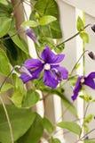 Clématite de jardin Image libre de droits