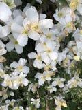 Clématite en fleur Photos libres de droits