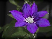 Clématite en fleur Image libre de droits