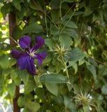 Clématite Jackmanii en fleur Photographie stock libre de droits