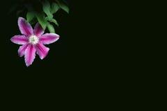Clématite rose sur un fond foncé Photos libres de droits