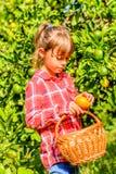 Clémentines de cueillette de petite fille photos libres de droits