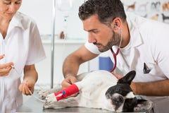 Clínica veterinaria con un dogo francés Foto de archivo