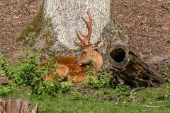Clôture de cerfs communs dans le Röhrenenseepark Bayreuth Photographie stock