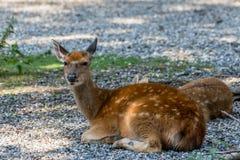 Clôture de cerfs communs dans le Röhrenenseepark Bayreuth Photos stock