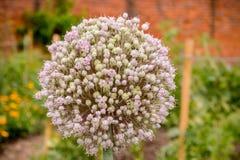 Clôturez d'un pourpre beaucoup l'ail ou l'allium fleuri Ampeloprasum dans un jardin photo libre de droits