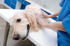 Clôturez du chien inquiété cette préparation à l'examen Images libres de droits