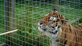 Clôture de Tiger Being Hand Fed In banque de vidéos