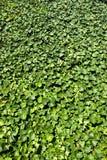 clad murgrönavägg Royaltyfria Bilder