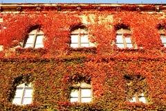 clad murgrönavägg Arkivfoton