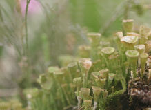 Cladonia background Stock Photography