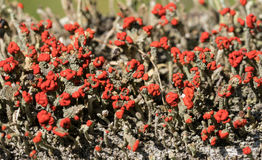 Cladonia cristatella or British Soldiers Lichen Royalty Free Stock Images